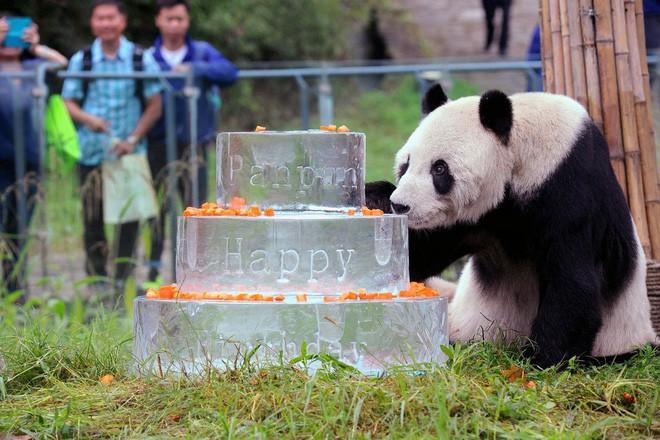 Đây là anh hùng lực lượng sinh sản nhà gấu trúc, một mình cứu cả loài khỏi tuyệt chủng - Ảnh 1.