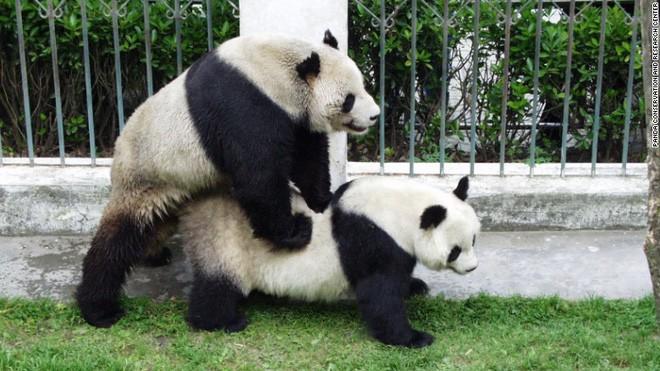 Đây là anh hùng lực lượng sinh sản nhà gấu trúc, một mình cứu cả loài khỏi tuyệt chủng - Ảnh 2.