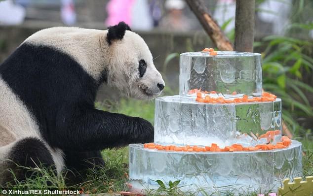 Đây là anh hùng lực lượng sinh sản nhà gấu trúc, một mình cứu cả loài khỏi tuyệt chủng - Ảnh 3.