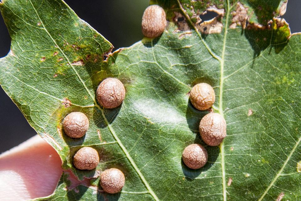 Sống trên đời từ đó đến nay bạn có biết các nốt sần trên lá sung thực chất là gì không? - Ảnh 3.