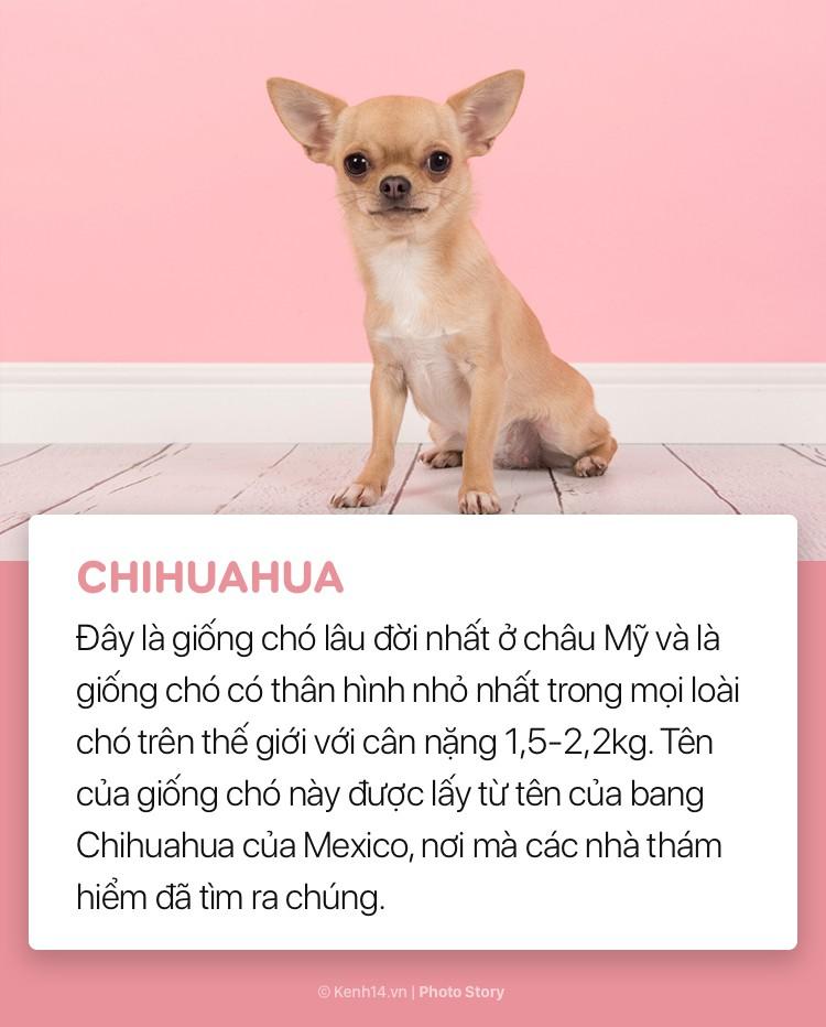 Điểm danh những giống chó bé hạt tiêu nhất thế giới - Ảnh 1.