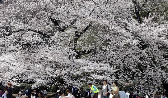 Nhật Bản: Thời tiết khác thường khiến hoa anh đào nở sớm? - Ảnh 1.