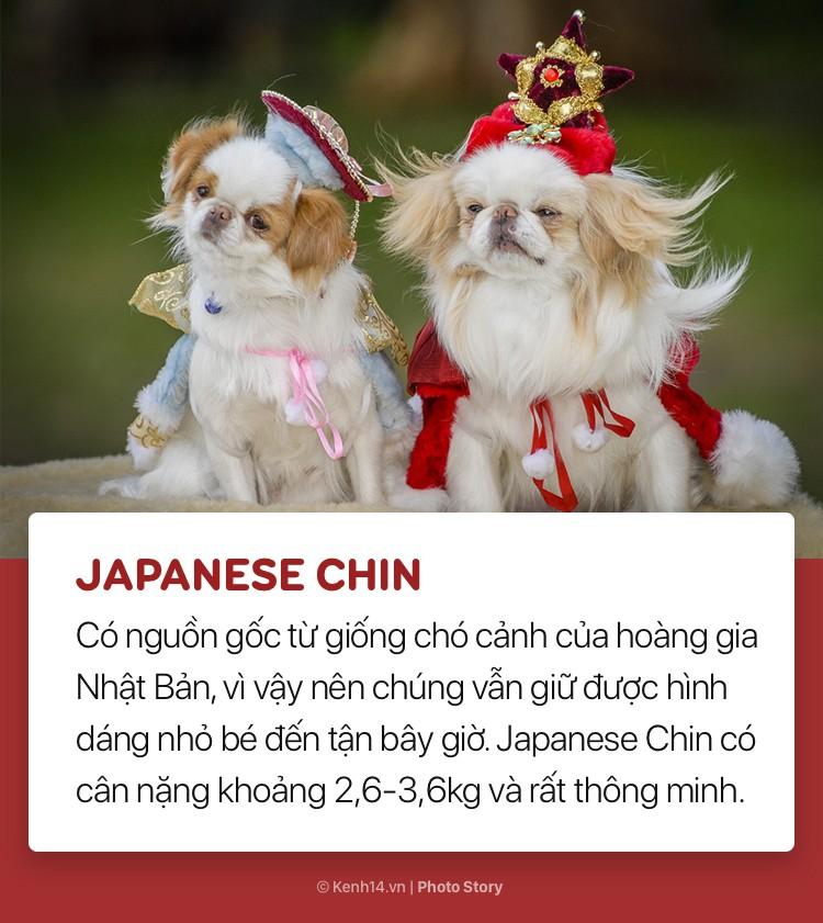 Điểm danh những giống chó bé hạt tiêu nhất thế giới - Ảnh 6.