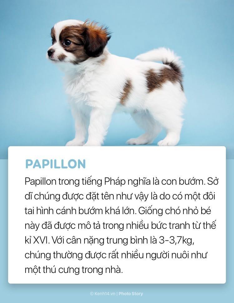 Điểm danh những giống chó bé hạt tiêu nhất thế giới - Ảnh 10.