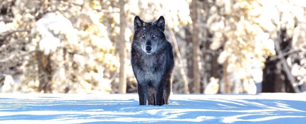 Chỉ từ 14 con sói, cả một công viên quốc gia đã thay đổi theo cái cách đáng mừng nhất thế kỷ - Ảnh 1.