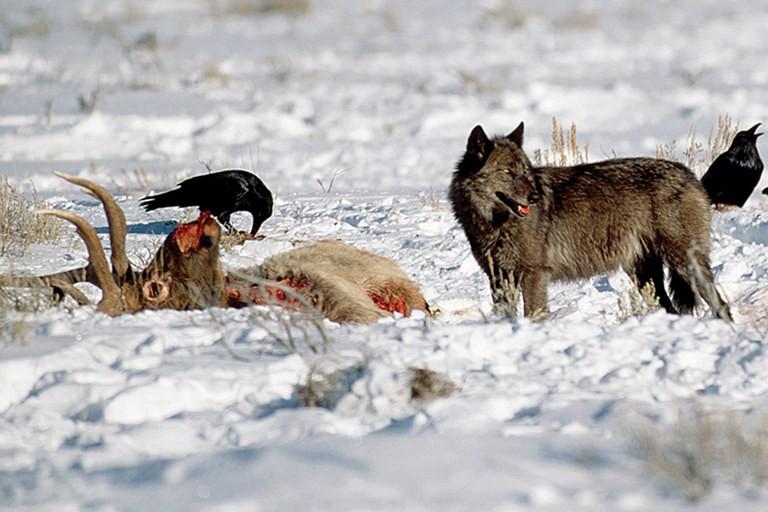 Chỉ từ 14 con sói, cả một công viên quốc gia đã thay đổi theo cái cách đáng mừng nhất thế kỷ - Ảnh 2.