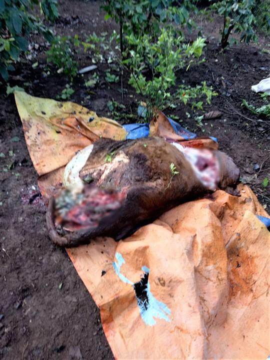 Nhốt bò ở rẫy, xót xa phát hiện bị trộm cắt mất 4 chân - Ảnh 2.