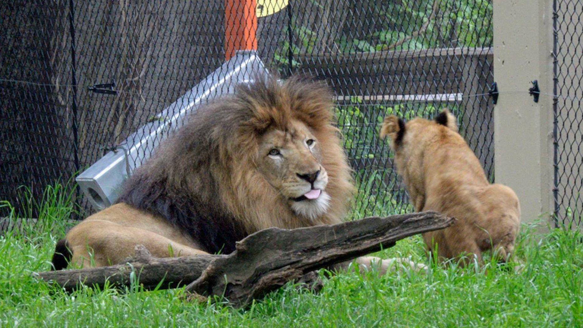 Bi kịch trong sở th\u0026#250;: Sư tử c\u0026#225;i ...