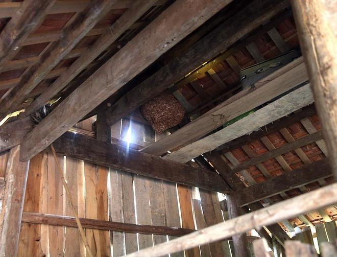 Một gia đình sống chung với hàng nghìn con ong vò vẽ kịch độc trong phòng ngủ - Ảnh 3.