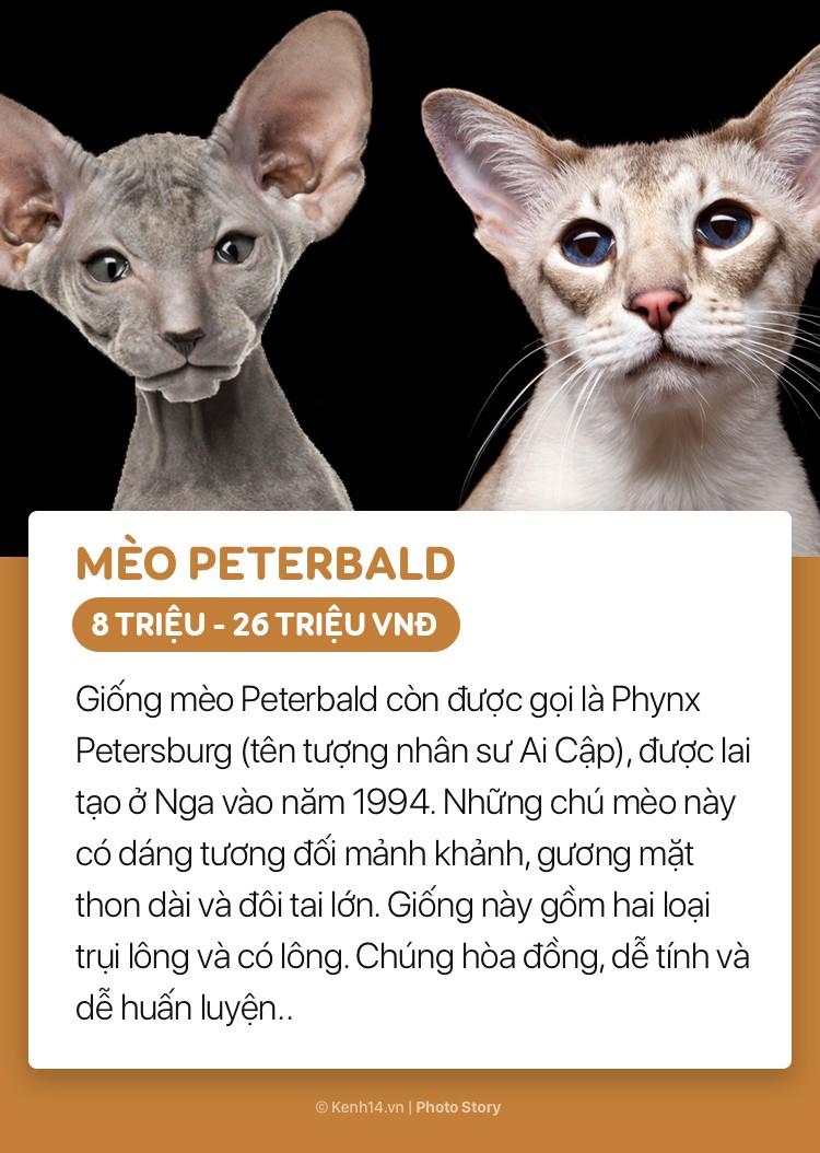 Những boss mèo đáng yêu và đắt tiền nhất nhì thế giới - Ảnh 15.