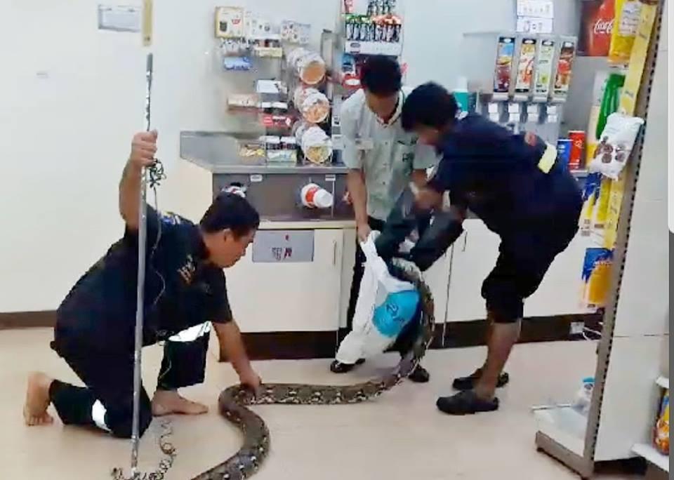 Thái Lan: Con trăn dài 1,2 mét chui vào cửa hàng tiện lợi đánh một giấc cạnh tủ bia cho mát - Ảnh 3.
