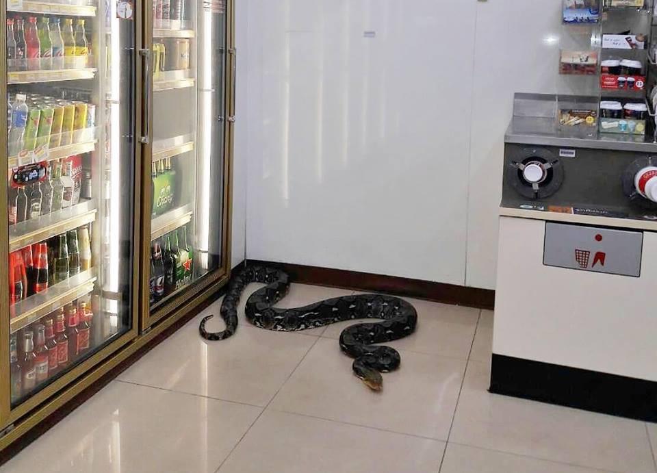 Thái Lan: Con trăn dài 1,2 mét chui vào cửa hàng tiện lợi đánh một giấc cạnh tủ bia cho mát - Ảnh 1.