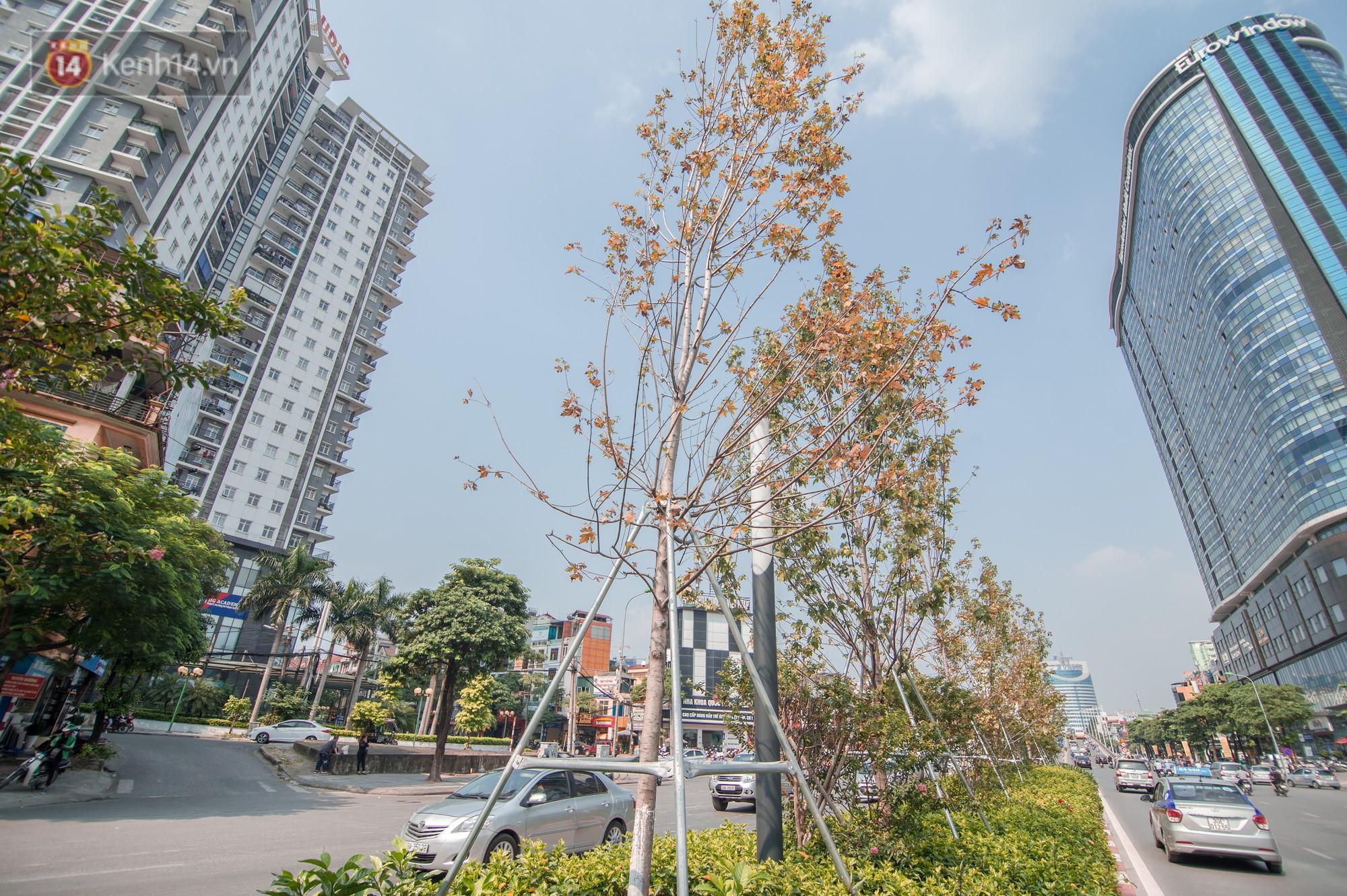 Hàng cây phong lá đỏ củi khô trước đây đã nhuộm sắc vàng đầu thu Hà Nội - Ảnh 5.