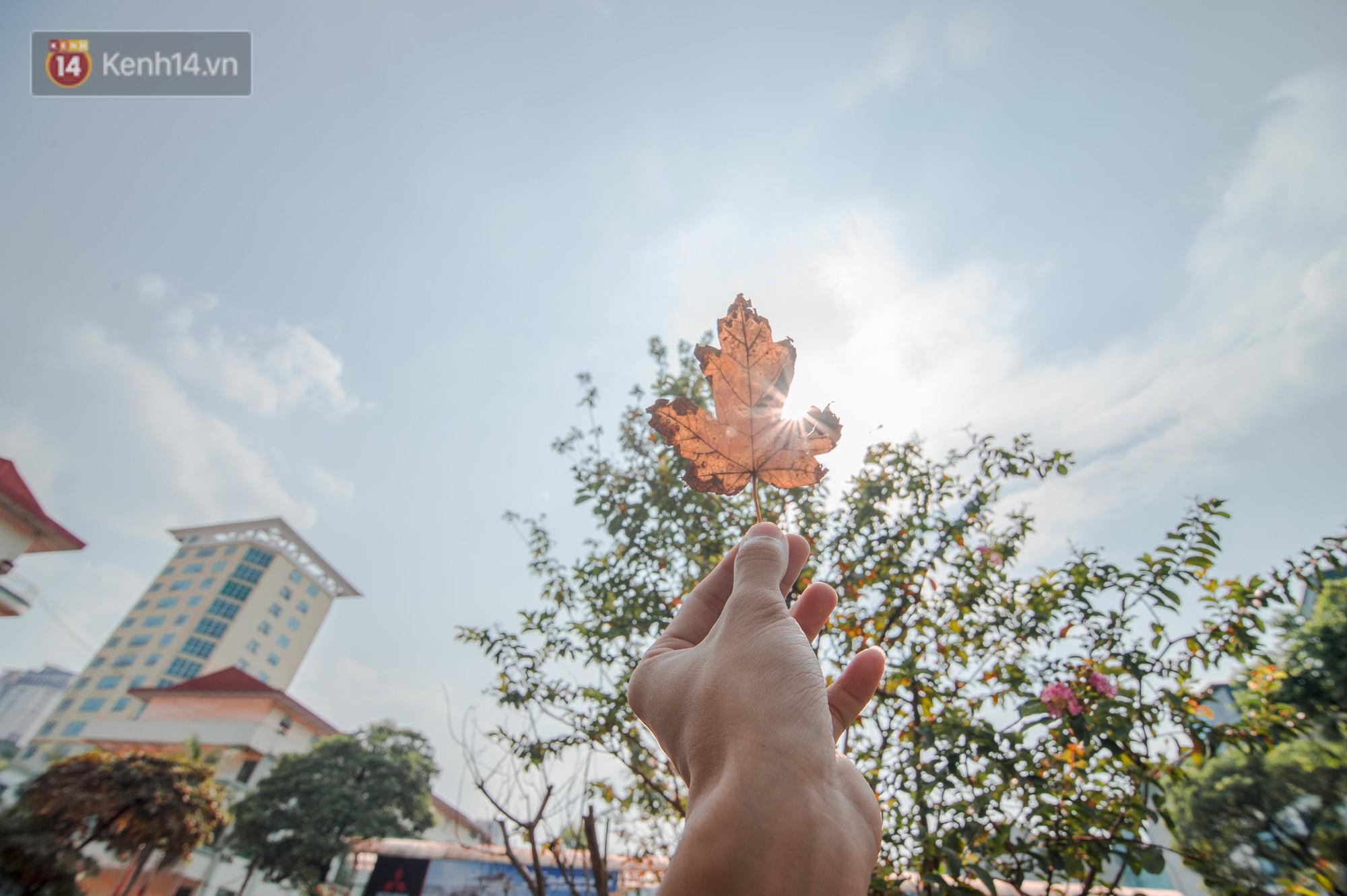 Hàng cây phong lá đỏ củi khô trước đây đã nhuộm sắc vàng đầu thu Hà Nội - Ảnh 10.