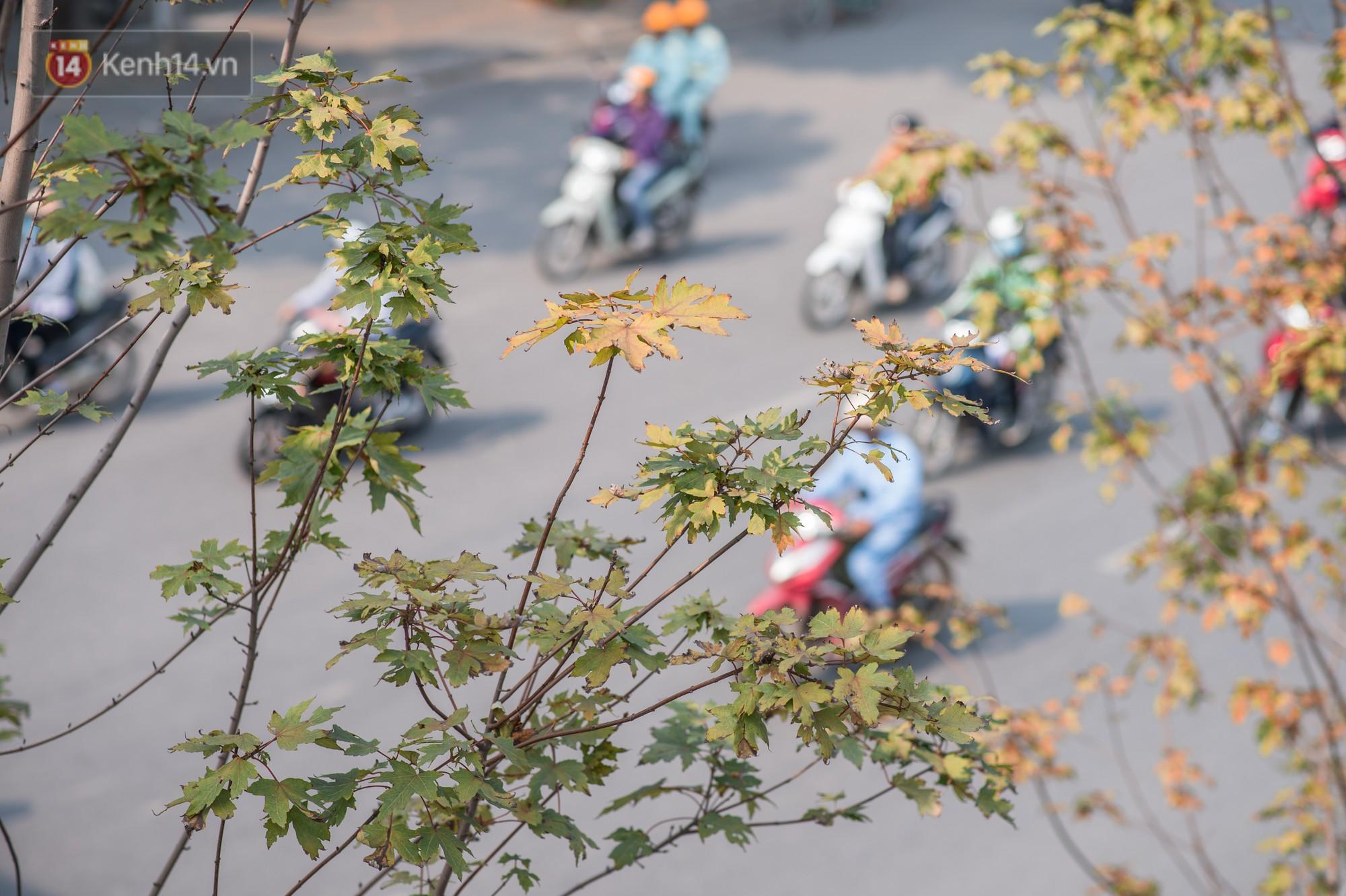 Hàng cây phong lá đỏ củi khô trước đây đã nhuộm sắc vàng đầu thu Hà Nội - Ảnh 13.