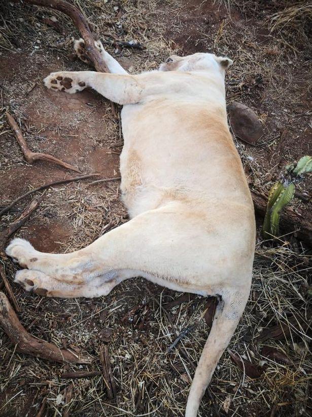 Nam Phi: Trộm lẻn vào công viên, ra tay sát hại tàn nhẫn 5 con sư tử - Ảnh 1.