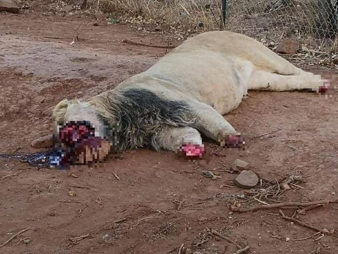 Nam Phi: Trộm lẻn vào công viên, ra tay sát hại tàn nhẫn 5 con sư tử - Ảnh 2.