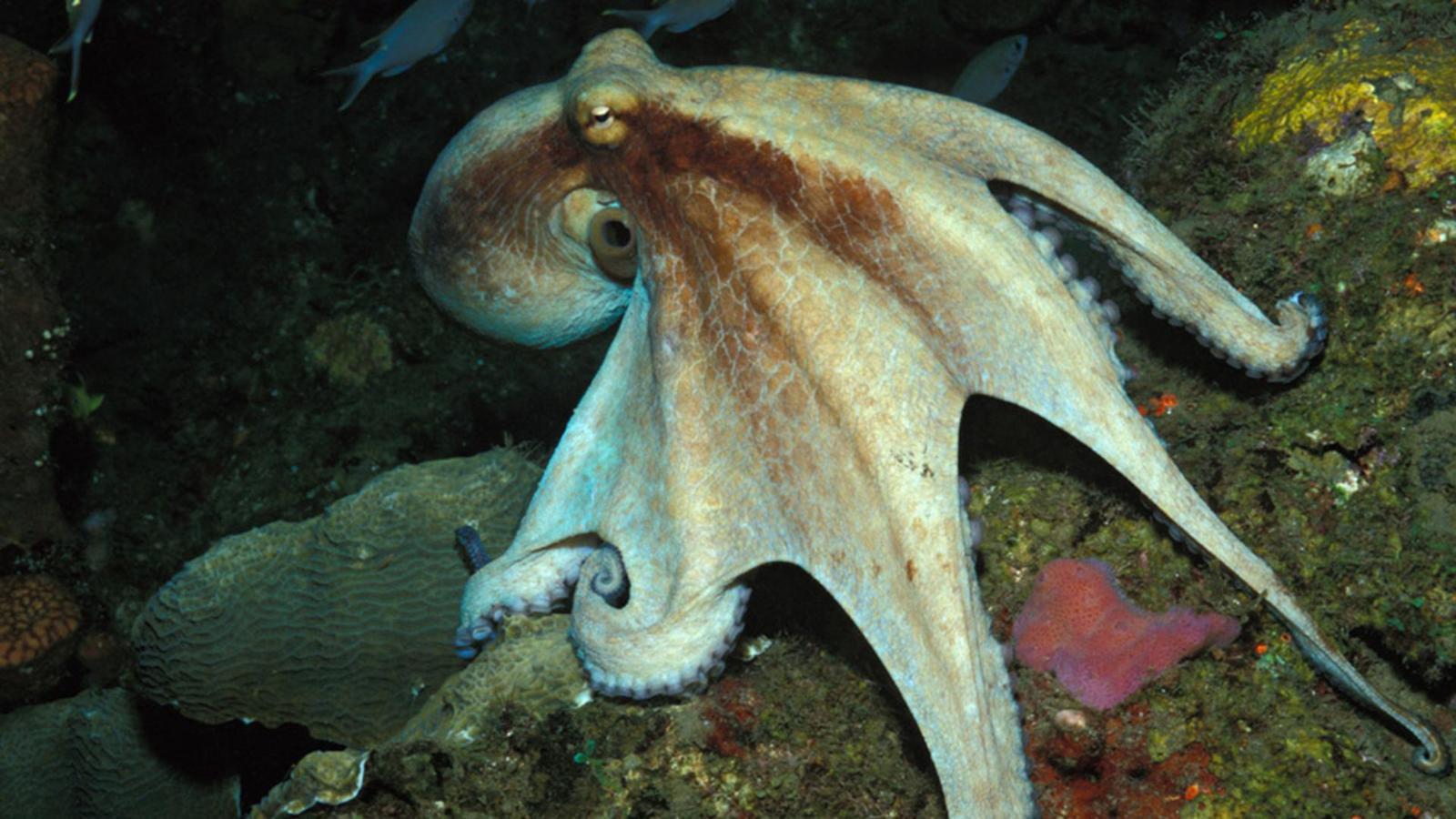Thiên tài của đại dương? Hãy gọi tên bạch tuộc nhé - Ảnh 4.