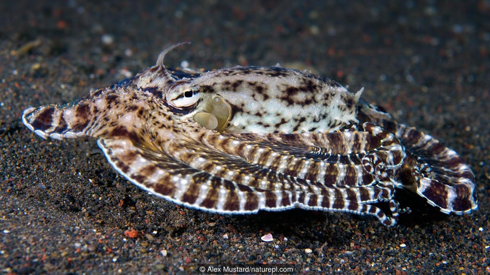 Thiên tài của đại dương? Hãy gọi tên bạch tuộc nhé - Ảnh 3.