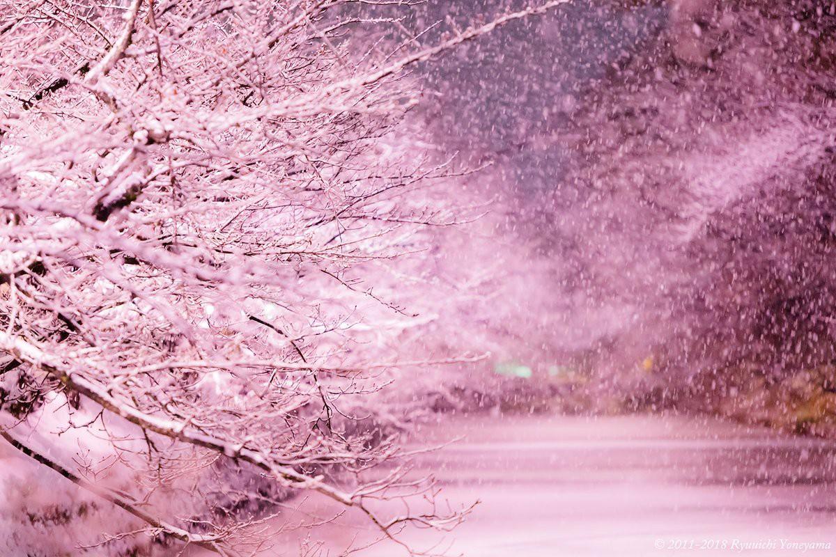 Người dân Nhật ngỡ ngàng chiêm ngưỡng những bông hoa anh đào băng tuyết trong thời tiết lạnh giá kéo dài - Ảnh 5.
