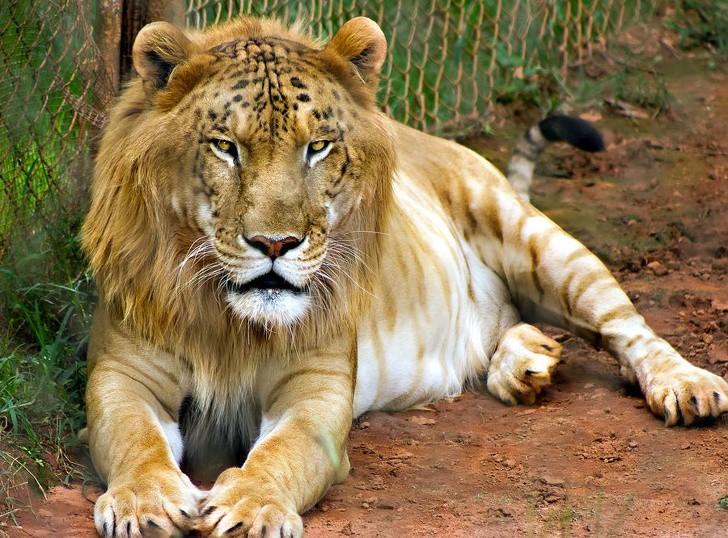 12 hoàng tử lai trong thế giới động vật với ngoại hình ngầu lòi và cá tính - Ảnh 5.