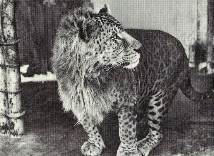 12 hoàng tử lai trong thế giới động vật với ngoại hình ngầu lòi và cá tính - Ảnh 6.