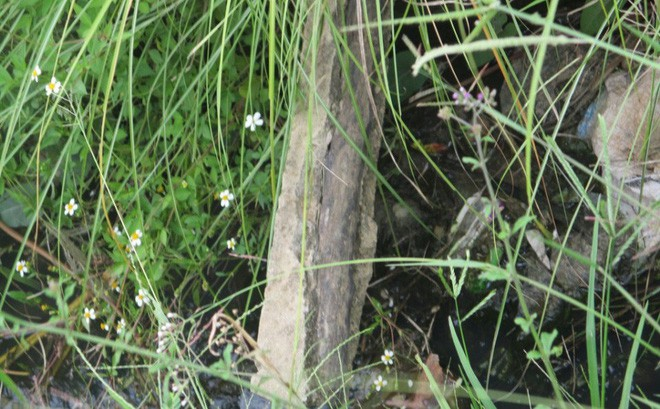 Chuyện lạ không thể hiểu nổi ở Bình Định: Bò trượt ngã lộ ra bê tông cốt... cây - Ảnh 1.