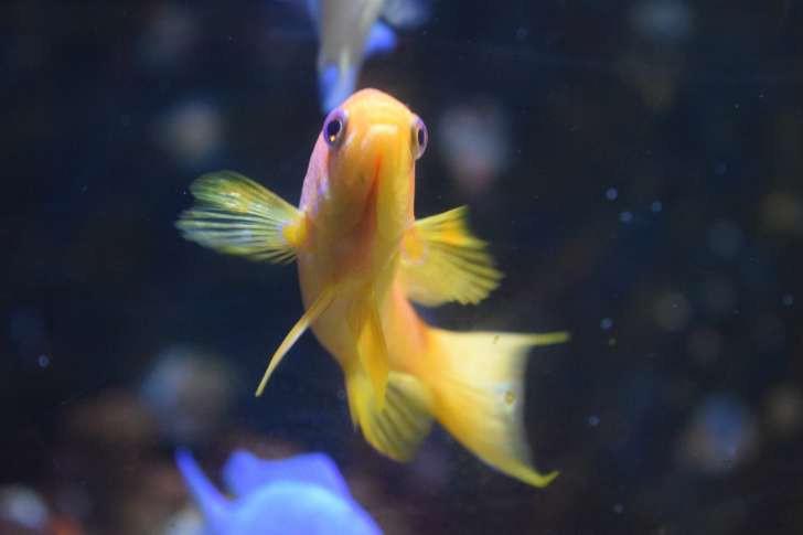 """Những sự thật khó ai tin nổi về loài cá vàng: được """"cưng"""" hết mực ở Nhà Trắng, biết làm trò như cún, và... - Ảnh 1."""