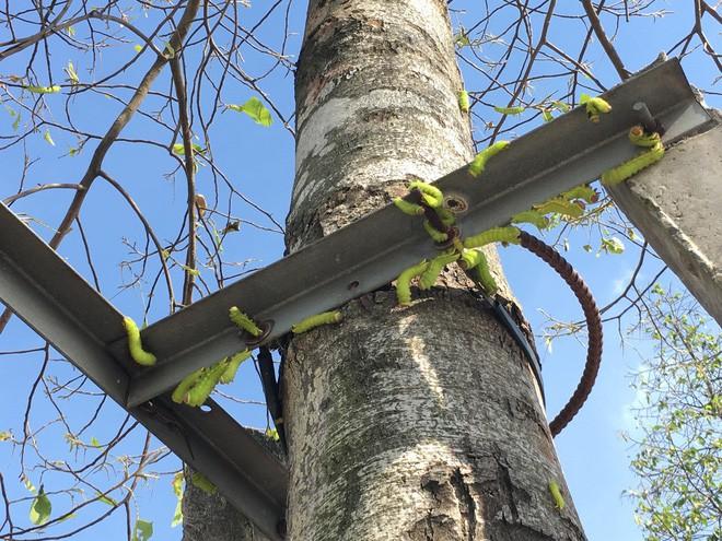 """Cận cảnh đàn sâu """"khổng lồ"""" bủa vây, ăn trụi lá cây xanh Photo-3-15435835291061437777305"""