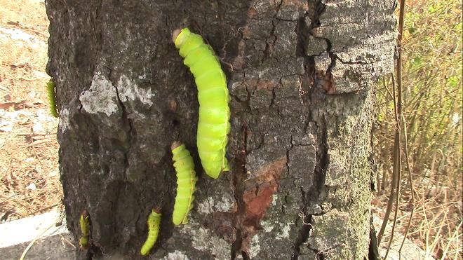 """Cận cảnh đàn sâu """"khổng lồ"""" bủa vây, ăn trụi lá cây xanh Photo-4-15435835291082103306240"""