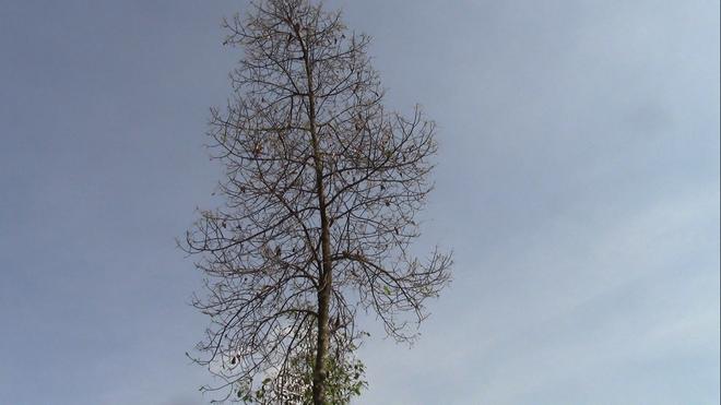 """Cận cảnh đàn sâu """"khổng lồ"""" bủa vây, ăn trụi lá cây xanh Photo-7-1543583529113961963384"""