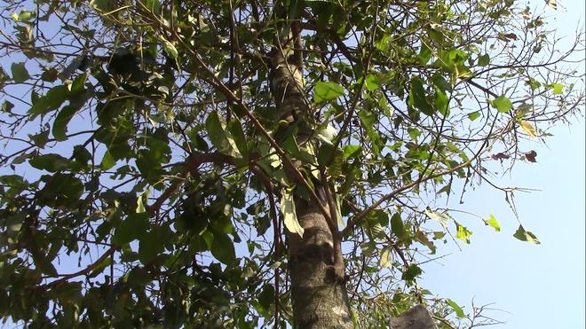 """Cận cảnh đàn sâu """"khổng lồ"""" bủa vây, ăn trụi lá cây xanh Photo-8-15435835291151672385992"""