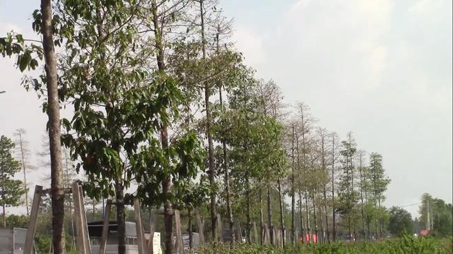 """Cận cảnh đàn sâu """"khổng lồ"""" bủa vây, ăn trụi lá cây xanh Photo-9-1543583529116261860628"""