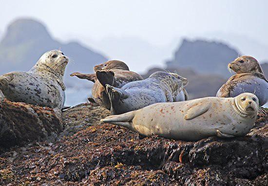 Người đàn ông đi câu cá mắc kẹt trên vách đá hàng giờ vì bị 50 con hải cẩu truy đuổi Seals-15413544014571547379416