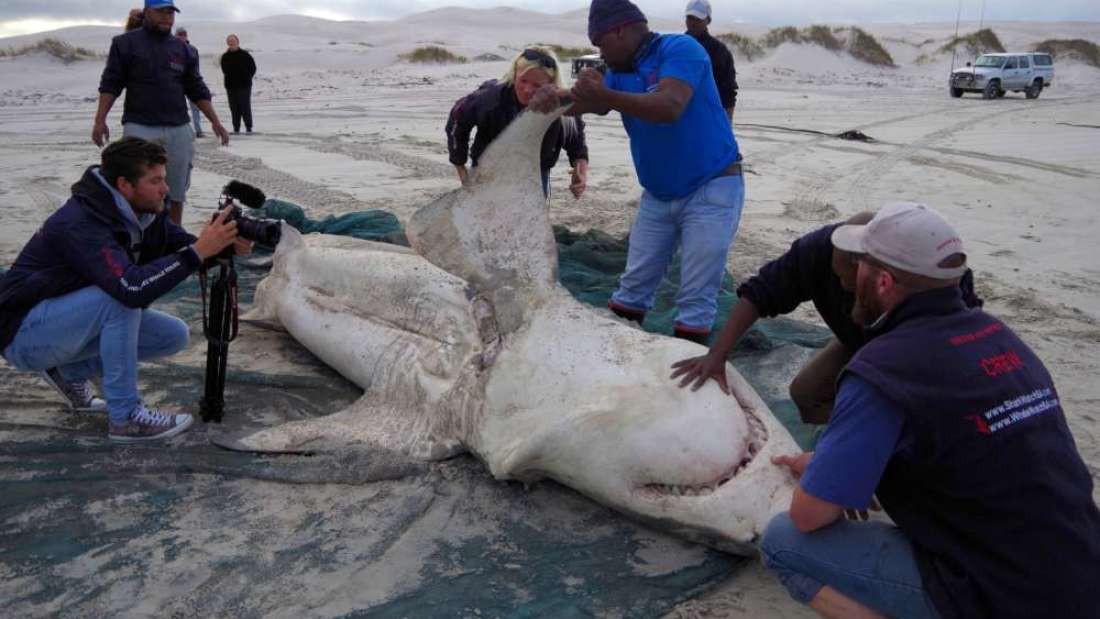 Cá mập trắng bị săn đuổi chết rục hàng loạt, nhưng thủ phạm lần này không phải con người - Ảnh 1.