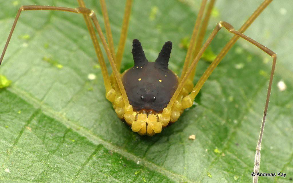 Con nhện mọc sừng nhìn giống chó này là CÓ THẬT, và sự thật về nó cho thấy tạo hóa kỳ cục đến mức nào - Ảnh 3.
