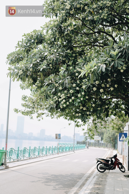 Lại một mùa nồng nàn hoa sữa: Từ biểu tượng mùa thu Hà Nội tới nỗi ám ảnh kinh hoàng trong gió - Ảnh 5.