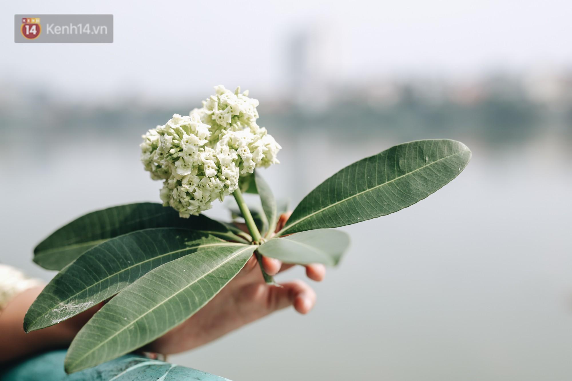 Lại một mùa nồng nàn hoa sữa: Từ biểu tượng mùa thu Hà Nội tới nỗi ám ảnh kinh hoàng trong gió - Ảnh 2.