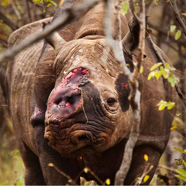 Bức ảnh Chú tê giác cụt sừng với đôi mắt buồn dậy sóng trên truyền thông quốc tế và câu chuyện đau lòng phía sau - Ảnh 2.