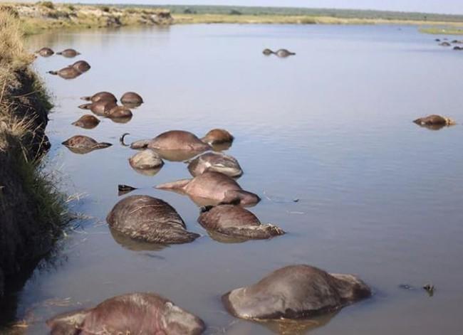 Thảm kịch 400 con bò rừng quý hiếm chết đuối sau khi bị bầy sư tử xua đuổi - Ảnh 1.