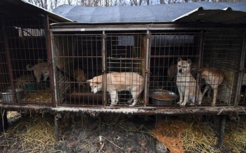 Hàn Quốc thay đổi mạnh thái độ với nghề thịt chó và thói quen ăn chó - Ảnh 2.