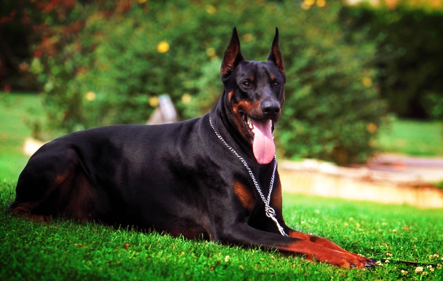 9 giống chó sở hữu vẻ ngoài siêu cưng nhưng không thích hợp với các gia đình có trẻ nhỏ - Ảnh 4.