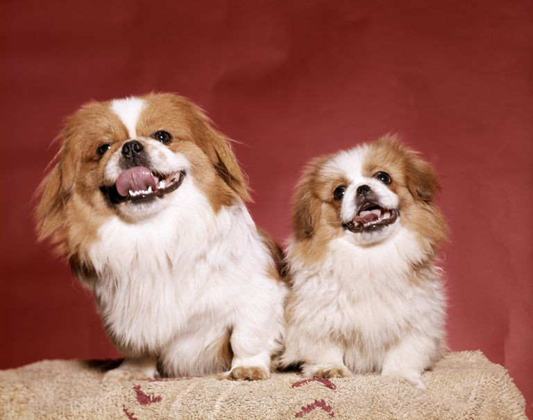 9 giống chó sở hữu vẻ ngoài siêu cưng nhưng không thích hợp với các gia đình có trẻ nhỏ - Ảnh 7.