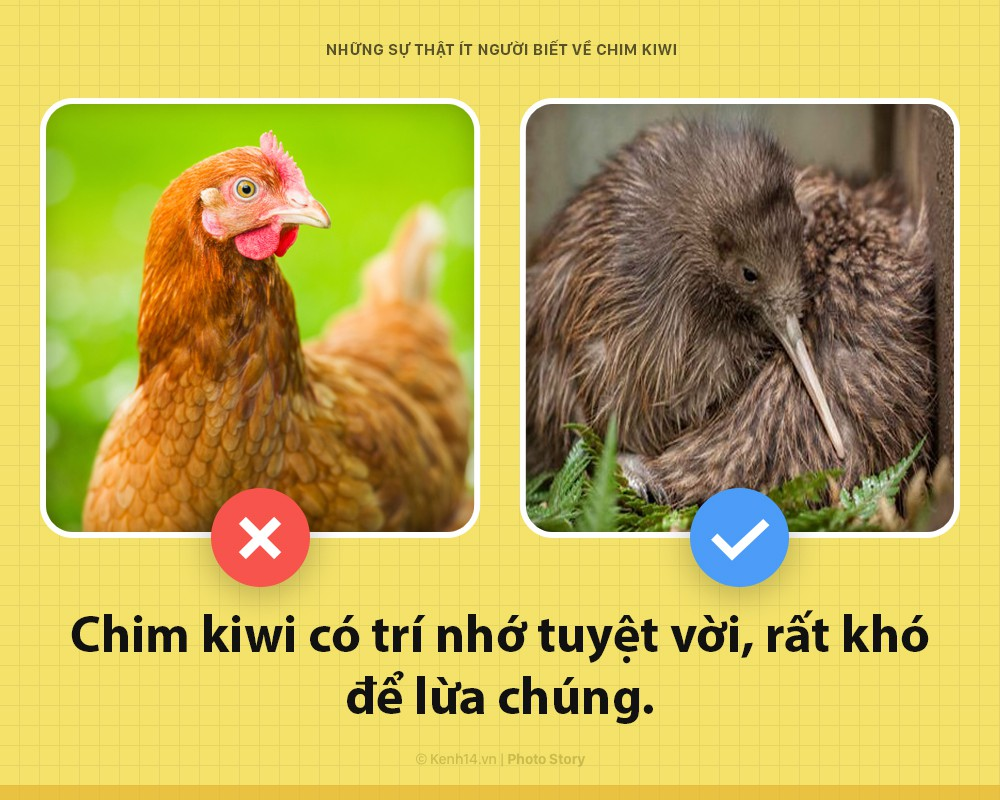 Xin chào! Tôi là chim kiwi biểu tượng của New Zealand và tôi dị hơn các ông tưởng nhiều đấy - Ảnh 5.