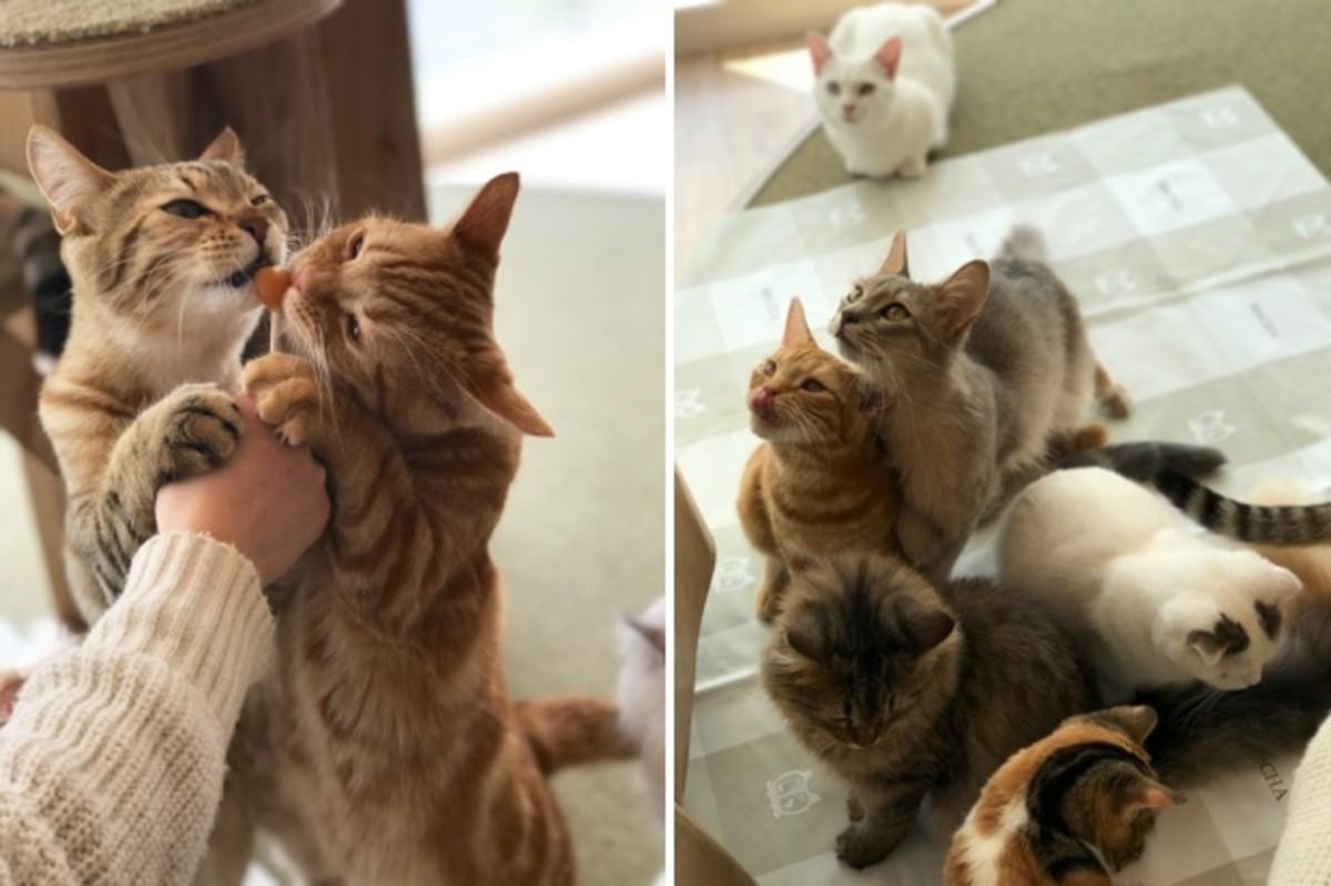 Đằng sau những con mèo bị bấm cụt tai là câu chuyện cảm động về cách người Nhật đối xử với chúng - Ảnh 6.