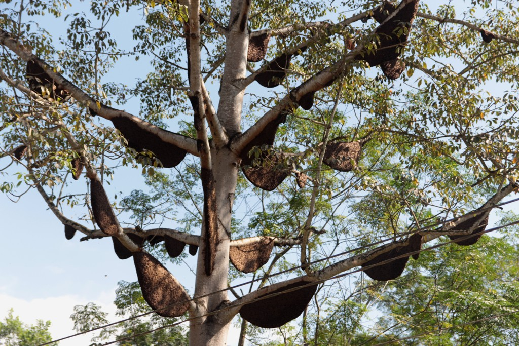 Độc đáo cây gạo ở Nghệ An có đến 60 tổ ong mật, trả giá 80 triệu không bán - Ảnh 5.