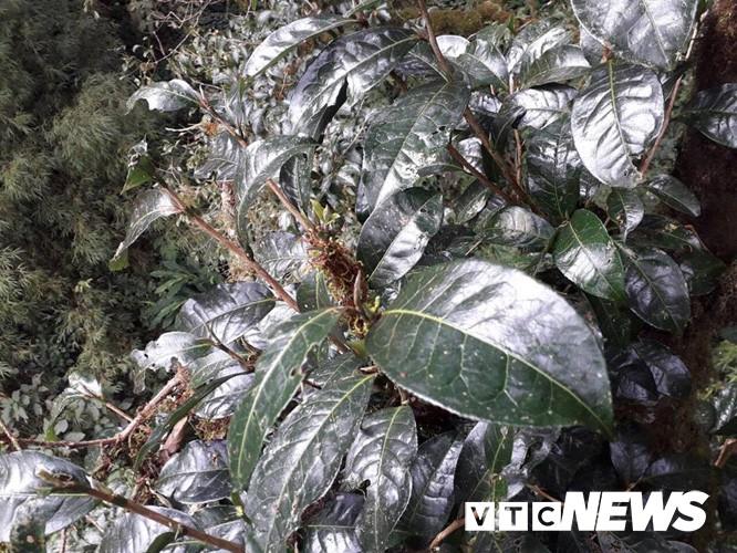 Choáng ngợp giữa khu rừng báu vật chè hoang dã ngàn năm tuổi ở Tây Côn Lĩnh - Ảnh 10.