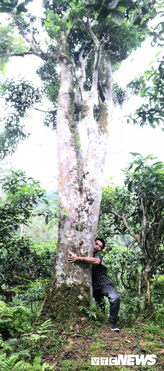 Choáng ngợp giữa khu rừng báu vật chè hoang dã ngàn năm tuổi ở Tây Côn Lĩnh - Ảnh 4.