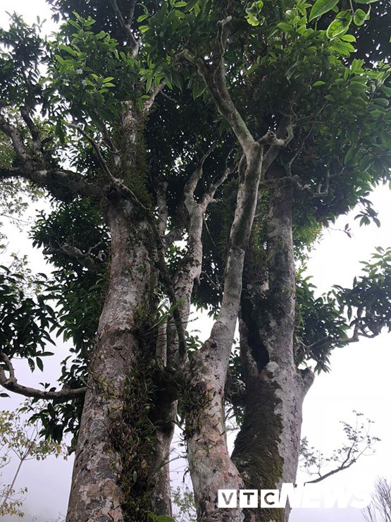 Choáng ngợp giữa khu rừng báu vật chè hoang dã ngàn năm tuổi ở Tây Côn Lĩnh - Ảnh 6.