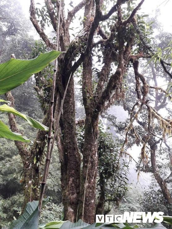 Choáng ngợp giữa khu rừng báu vật chè hoang dã ngàn năm tuổi ở Tây Côn Lĩnh - Ảnh 7.